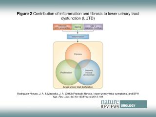 Figure 2  Contribution of inflammation and fibrosis to lower urinary tract dysfunction (LUTD)