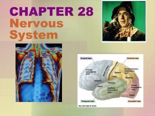 CHAPTER 28 Nervous System