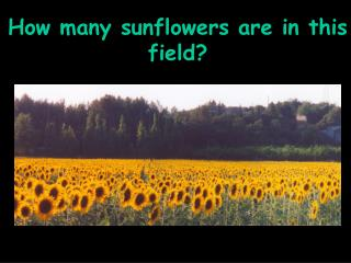 How many sunflowers are in this field?