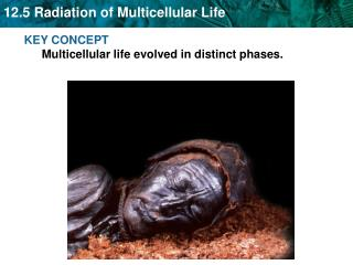 KEY CONCEPT  Multicellular life evolved in distinct phases.