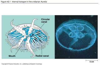 Figure 42.1  Internal transport in the cnidarian  Aurelia