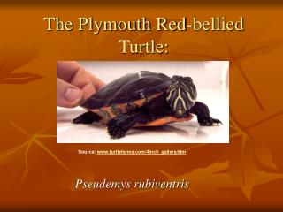 The Plymouth Red-bellied Turtle: