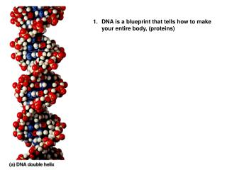DNA is a blueprint that tells how to make your entire body, (proteins)