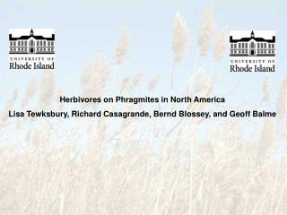Herbivores on Phragmites in North America