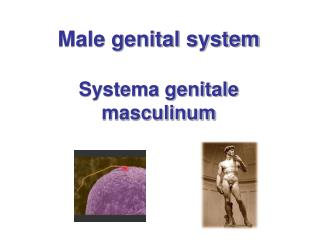 Male genital system Systema genitale masculinum