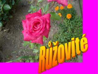 Růžovité
