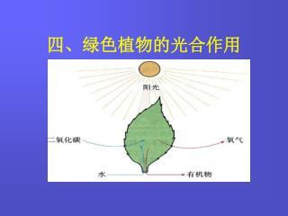 四、绿色植物的光合作用
