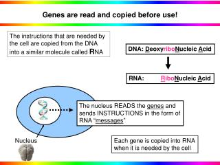 Genes are read and copied before use!