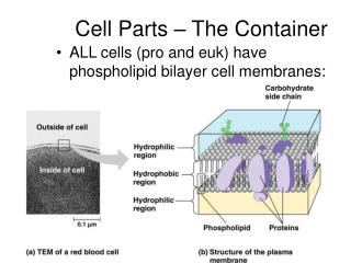 Cell Parts – The Container
