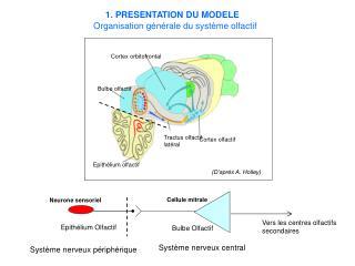 Epithélium olfactif