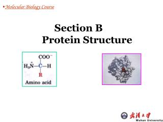 Section B 	 Protein Structure