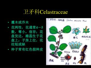 卫矛科 Celastraceae