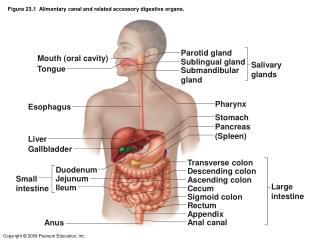 Figure 23.1  Alimentary canal and related accessory digestive organs.