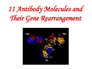 11 Antibody Molecules and Their Gene Rearrangement