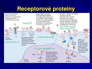 Receptorové proteiny