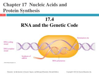 Chapter 17  Nucleic Acids and  Protein Synthesis