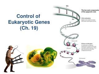 Control of  Eukaryotic Genes (Ch. 19)