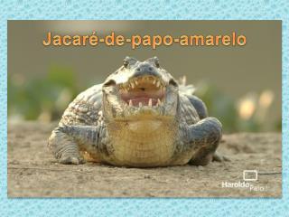 Jacar�-de-papo-amarelo