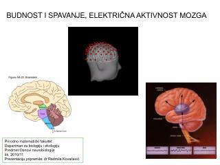 B UDNOST  I SPAVANJE , ELEKTRIČNA AKTIVNOST MOZGA