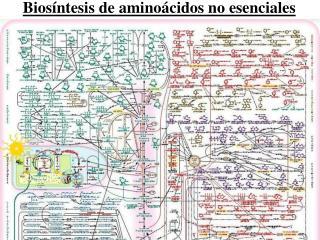 Biosíntesis de  aminoácidos no esenciales