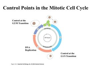 Control Points in the Mitotic Cell Cycle