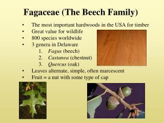 Fagaceae (The Beech Family)