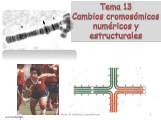 Tema  13  Cambios cromosómicos numéricos y estructurales