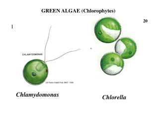 Chlamydomonas