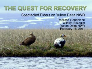 Spectacled Eiders on Yukon Delta NWR Melissa Gabrielson Wildlife Biologist Yukon Delta NWR