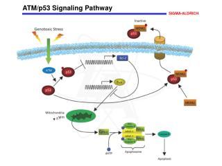 ATM/p53 Signaling Pathway
