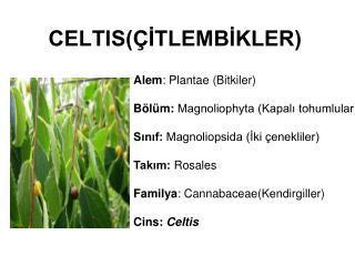 CELTIS(ÇİTLEMBİKLER)
