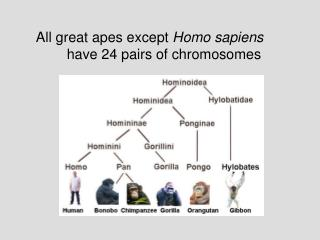 All great apes except  Homo sapiens  	  have 24 pairs of chromosomes