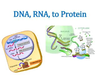 DNA, RNA, to Protein