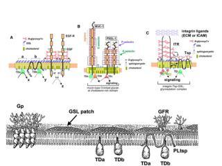 Parton, R. G. et al. J Cell Sci 2006;119:787-796
