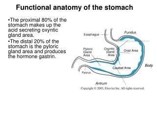 The proximal 80 of the stomach makes up the acid secreting oxyntic gland area.  The distal 20 of the stomach is the pylo