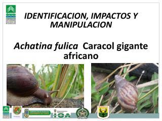 IDENTIFICACION, IMPACTOS Y MANIPULACION Achatina fulica   Caracol gigante africano