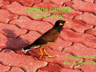 Lantana camara Verbenaceae