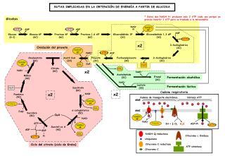 Ciclo del citrato (ciclo de Krebs)