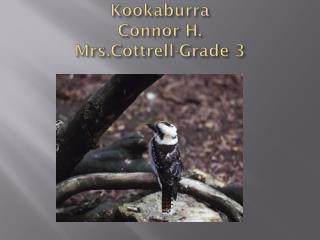 Kookaburra Connor  H. Mrs.Cottrell -Grade 3