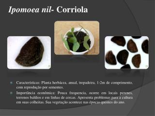 Ipomoea nil-  Corriola
