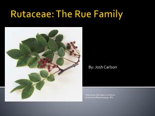 Rutaceae : The Rue Family