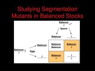 Studying Segmentation Mutants in Balanced Stocks