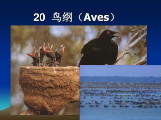 20   鸟纲( Aves )