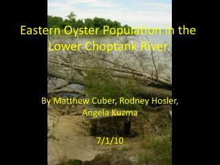 Eastern Oyster Population in the Lower Choptank River