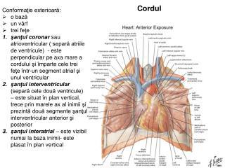 Cordul