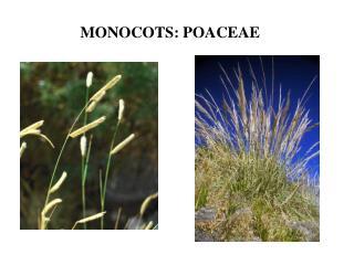 MONOCOTS: POACEAE