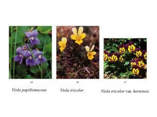Viola papilionaceae