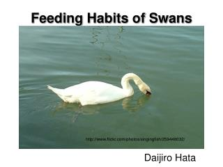 Feeding Habits of Swans
