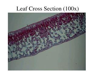 Leaf Cross Section (100x)