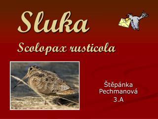 Sluka Scolopax rusticola
